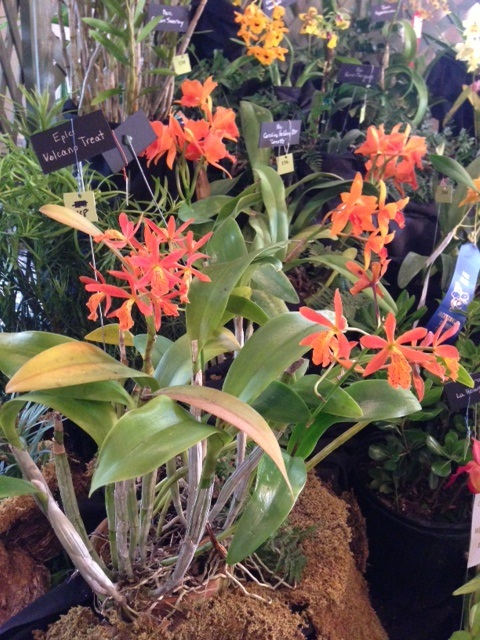 TOS display at Jacksonville Orchid Show picture 1
