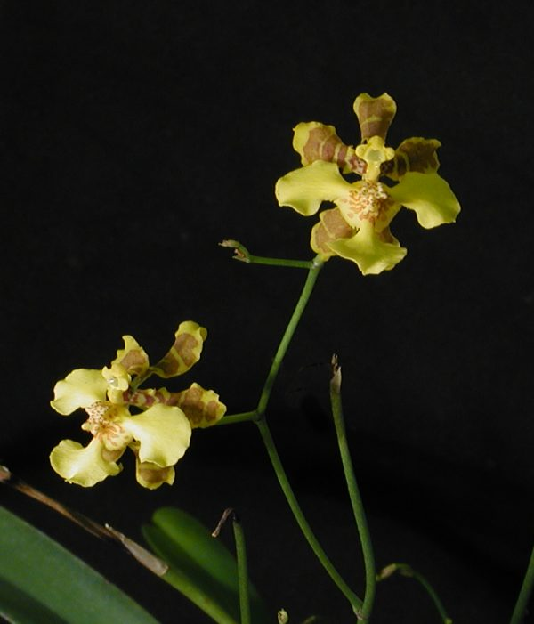 421959947 besides Oncidium Pusillum Or Dancing Lady Orchid further Orchidee selvatiche likewise Cycnoches 20aureum further 94493011. on oncidium orchid